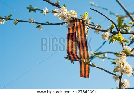St. George's ribbon on a blossoming branch victory day may 9