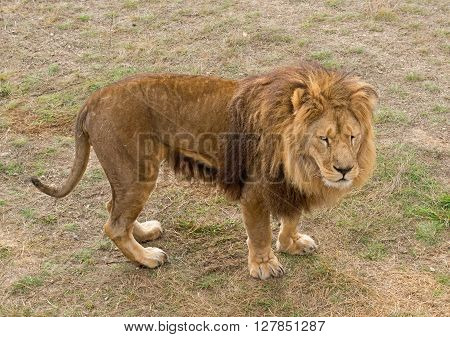 the big Beautiful African wild lion in the savannah