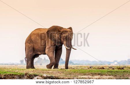 Large male African elephant walking across the floodplain