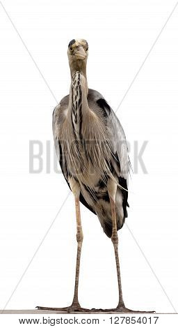 Grey heron (Ardea cinerea). Isolated on white background. Front view.