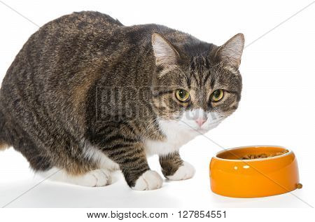 Grey cat eats dry food isolated on white