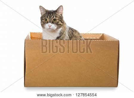 Big grey cat sitting in a cardboard box isolated on white