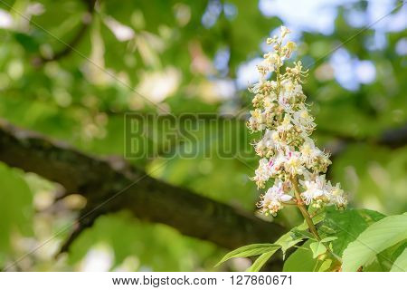 White Horse Chestnut Flower