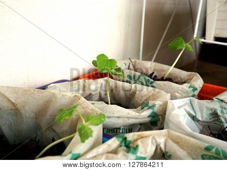 Melon seedlings were grown in plastic bags.