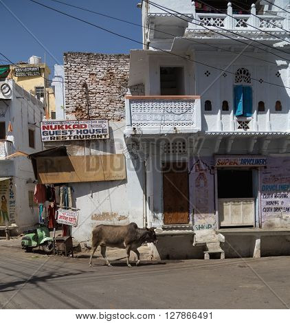 UDAIPUR INDIA - 20TH MARCH 2016: A cow wandering along roads and streets in central Udaipur during the day