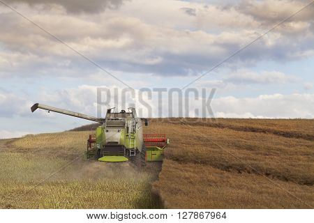The Combine Harvester in Action at Summer Rapeseed Field