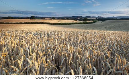 Panoramic View over Ripe Gold Wheat Field