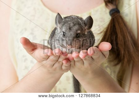 Cute adult chinchilla sitting on girl hands. Studio shot. Copy space.