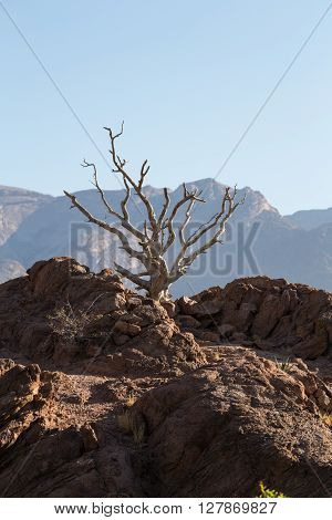 Old tree reaching for the sky on a rocky hill with Namibian mountains in the far distance