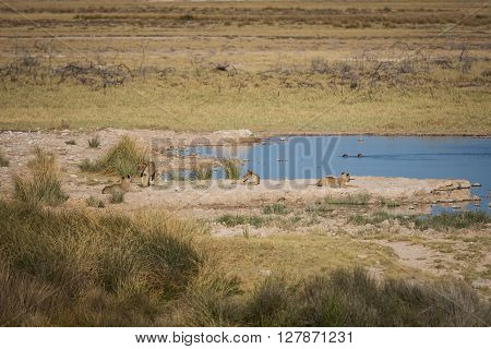 Young lions at waterhole taking an early morning break. Etosha national park Namibia Africa.