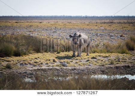 A southern white rhinoceros (Ceratotherium simum simum) standing at a waterhole. Etosha national park Namibia Africa.