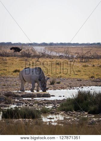 A southern white rhinoceros (Ceratotherium simum simum) standing at a waterhole with a flock of ostrich in the distance. Etosha national park Namibia Africa.
