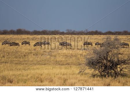 Blue wildebeests (gnu Connochaetes taurinus) wandering across thw open planes of Etosha national park Namibia Africa