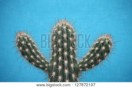 A Spiky Cactus on a Blue Background.
