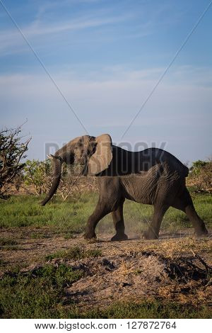 Angry elephant running off at the Okavango Delta of Botswana Africa.