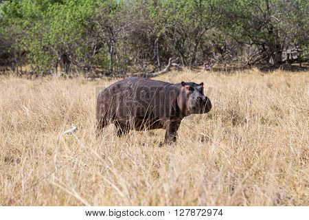 Hippopotamus walking on land with a bird friend in the Okavango delta of Botswana Africa.