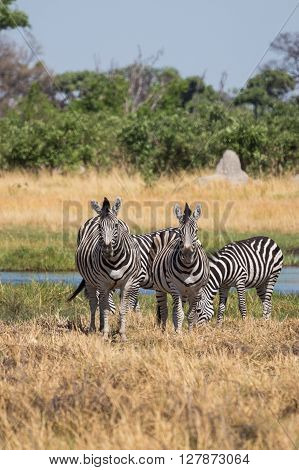 Zebras grazing in the Okavango Delta of Botswana Africa.