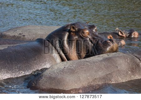 Hippo flock resting in the water. Okavango Delta Botswana Namibia.