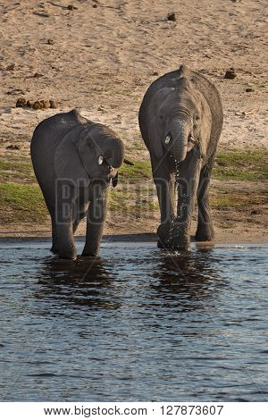 Baby African bush elephants drinking at river in Okavango delta. Okavango delta of Botswana Africa.