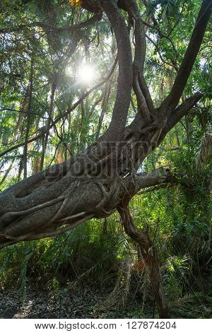 Tree root at Victoria Falls in the surrounding rainforest like area. Zimbabwe Africa.