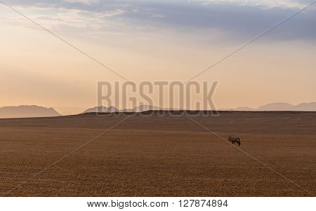 Oryx walking towards the setting sun on a bare meadow in Namibia. Open landscape with a lonely Oryx