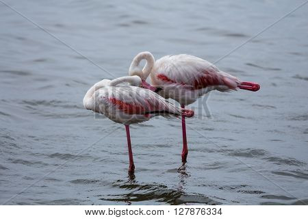 Two flamingos taking a break phoenicopterus. In the water of Walvis bay in Swakopmund Namibia.