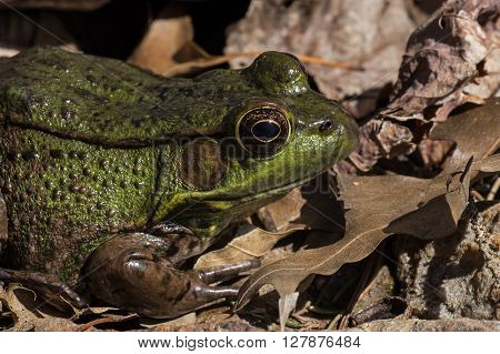 American bullfrog at backyard pond. It is often simply known as the bullfrog in Canada and the United States, is an amphibious frog, a member of the family Ranidae.