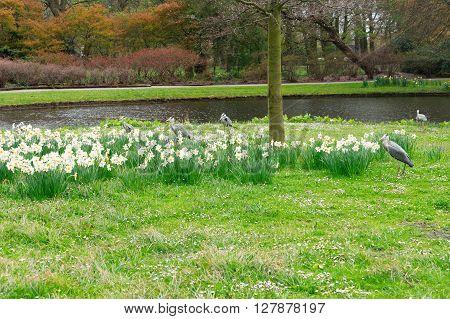 Clingendael park at spring with Grey Heron birds, Den Haag, Netherlands