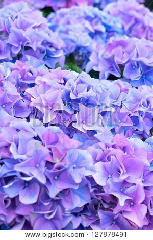 violet and blue  fresh hortensia flowers  close up