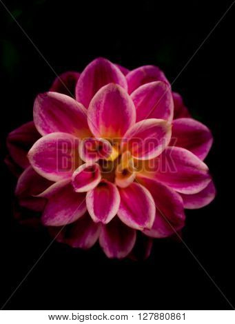 Dahlia flower in pink on a black background - expresses dignity and elegance