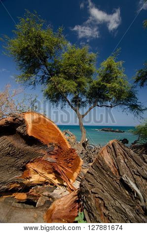 Heliotropes And Ironwood Trees At Puako Beach - 3