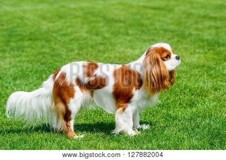 Cavalier King Charles spaniel  standing on green field.