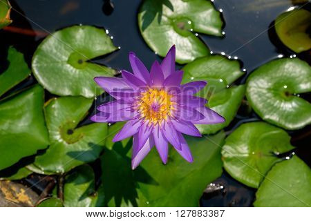 Colorful purple lotus (water lily) blooming in the pond.