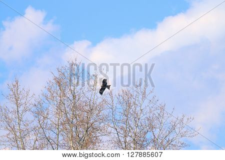 Beautiful hawk soars in sky next to top of trees and clouds at spring day