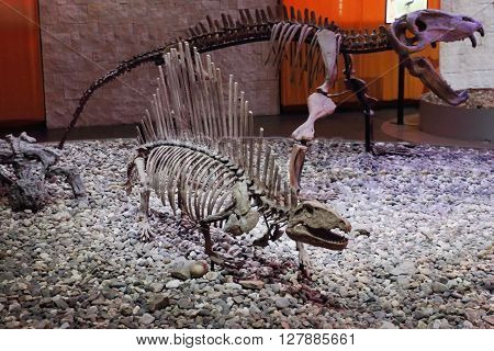 PERM RUSSIA - APR 4 2015: Big skeletons of dinosaurs in Museum of Local History