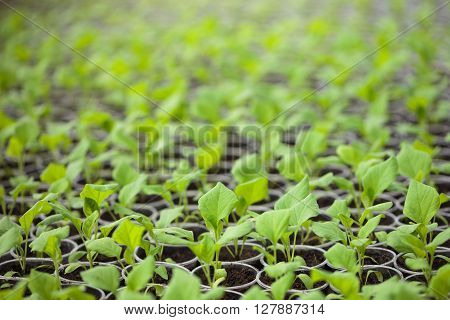 Green Seedlings Grown In A Row In Glasshouse