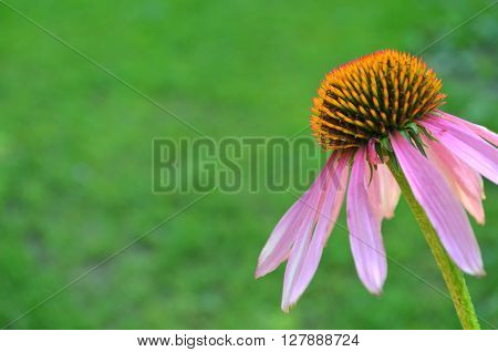 Echinacea on a grass background - medical plant Echinacea