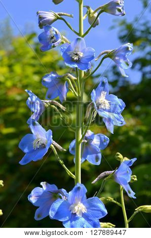 Flowering blue delphinium in the garden on a background of of greenery