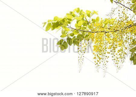 yellow Golden shower Cassia fistula flower isolate on white background