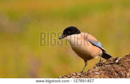 Azure Winged Magpie Perched On A Branch