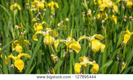 Yellow iris in nature swamp flower. Georgia.