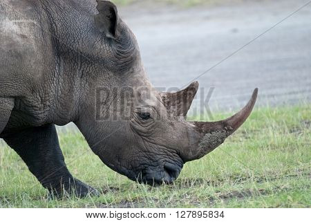 photo rhinoceros head chewing grass in the African savanna