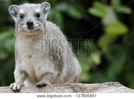 smiling African hyrax sitting on the stone, Kernya, Africa