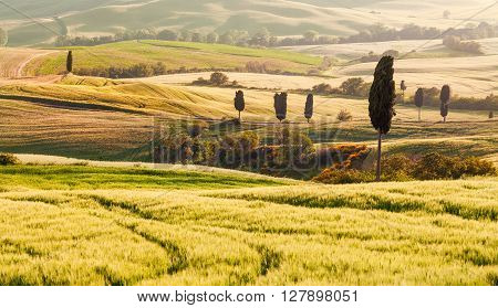 Summer Tuscan Fields with Cypress Trees at Sunset