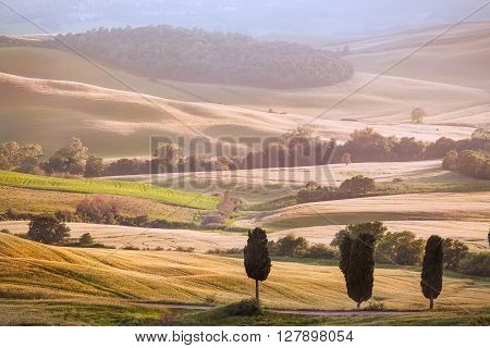 Cypress Trees on Ripe Crops Field Flooded in Sunset Light Tuscany Italy