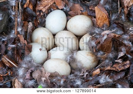 Mallard Duck Nest with nine unhatched eggs.