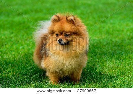 Miniature pomeranian spitz standing on green field.