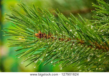 green needles were eaten in rain droplets