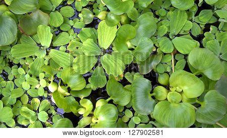 Fresh aquatic plants in a garden pond
