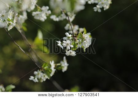 beautiful white cherry flowers began to blossom in May